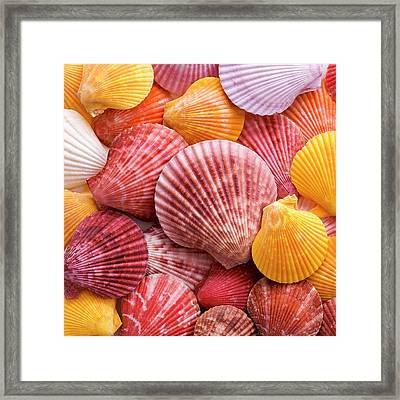 Colourful Scallop Shells Framed Print