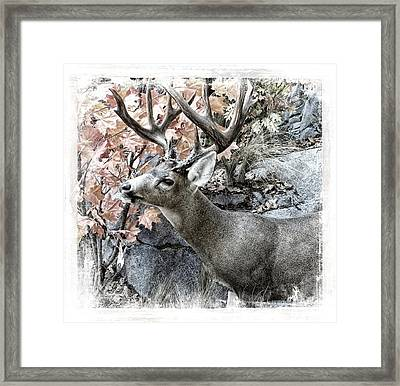 Framed Print featuring the photograph Columbia Blacktail Deer by Aaron Berg