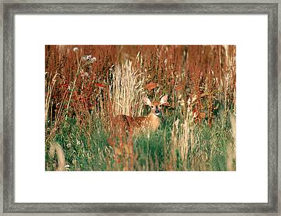 Columbia White-tailed Deer Fawn Framed Print