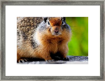 Columbian Ground Squirrel Framed Print by Bonnie Fink