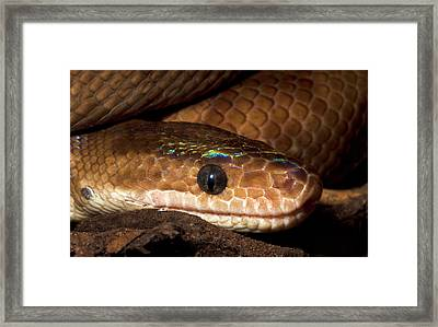 Columbian Rainbow Boa Head Detail Framed Print
