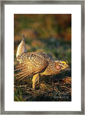 Columbian Sharp-tailed Grouse Displaying Framed Print by William H. Mullins