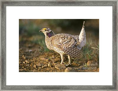 Columbian Sharp-tailed Grouse On Lek Framed Print by William H. Mullins
