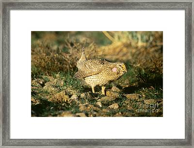 Columbian Sharp-tailed Grouse Framed Print by William H. Mullins