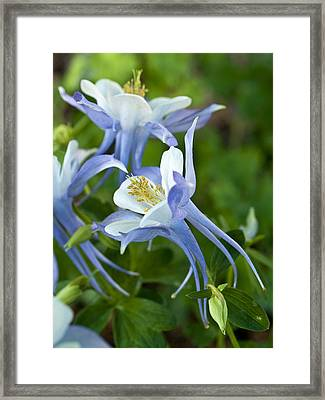 Columbine-2 Framed Print