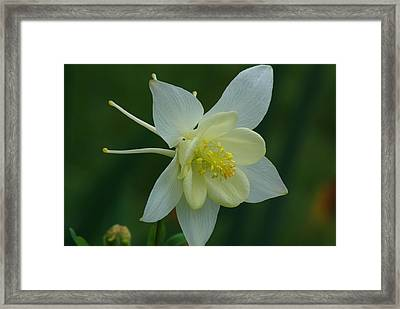 Columbine 2 Framed Print by Ken Dietz