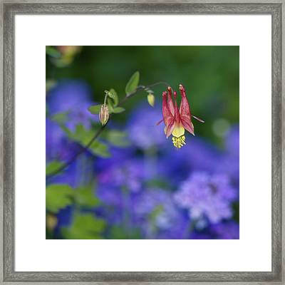Framed Print featuring the photograph Columbine And Verbena by Jane Eleanor Nicholas