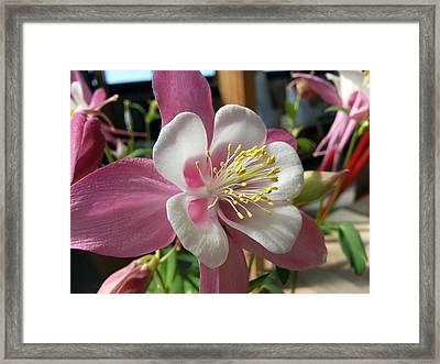 Framed Print featuring the photograph Columbine by Caryl J Bohn