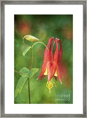 Columbine - D008453-a Framed Print by Daniel Dempster