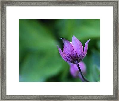 Columbine Flower Bud Framed Print