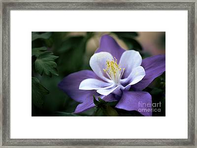 Columbine In Lavender Framed Print by Julie Palencia