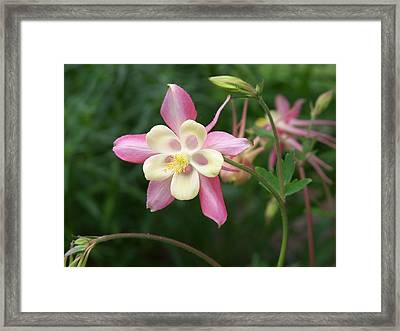 Framed Print featuring the photograph Columbine by Kathryn Meyer