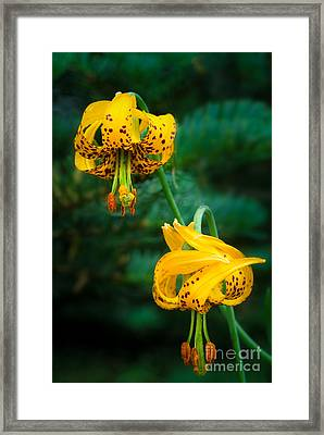 Columbine Lilies Framed Print by Inge Johnsson