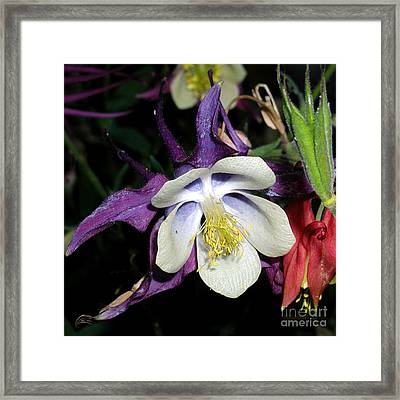 Columbine Pure Passion Framed Print