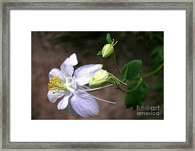 White Columbine Framed Print