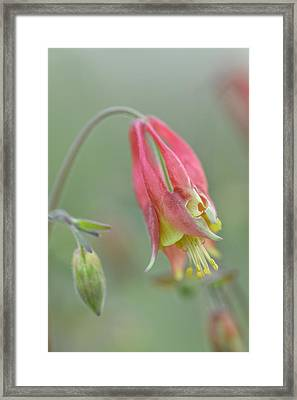 Columbine Softly  Framed Print by Debbie Green