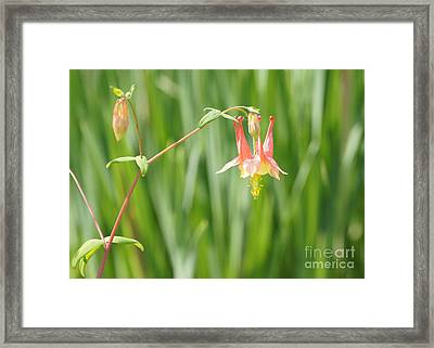 Columbine With Flower And Buds Framed Print