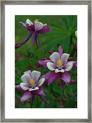 Columbines Framed Print by Ken Dietz