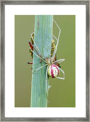 Comb Footed Spider Framed Print by Heath Mcdonald