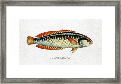 Comb Wrasse Framed Print