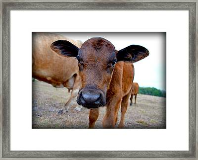 Framed Print featuring the photograph Come Close For A Cow Kiss by Amanda Vouglas