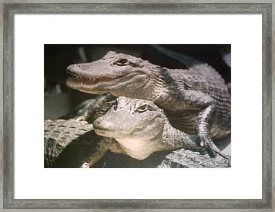 Framed Print featuring the photograph Florida Alligators Come Closer by Belinda Lee