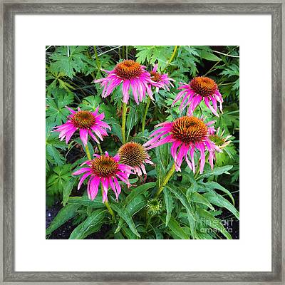 Framed Print featuring the photograph Comely Coneflowers by Meghan at FireBonnet Art
