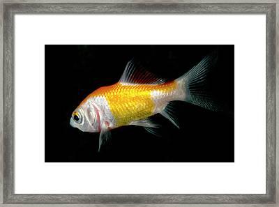 Comet Goldfish Framed Print by Nigel Downer