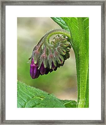 Comfrey Framed Print by Wendy Mallaber