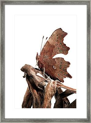 Comma Butterfly Framed Print by Alex Hyde