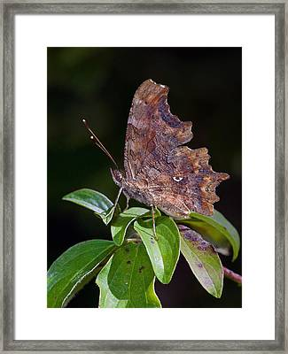 Comma Butterfly Catalonia Spain Framed Print by Frans Hodzelmans