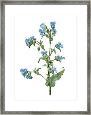 Commelina Tuberosa, Commelina Coelestis Comméline Framed Print