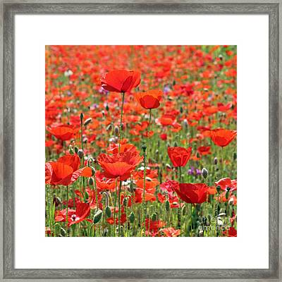 Commemorative Poppies Framed Print