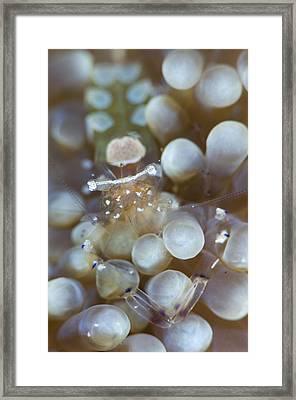 Commensal Shrimp On Anemon Framed Print