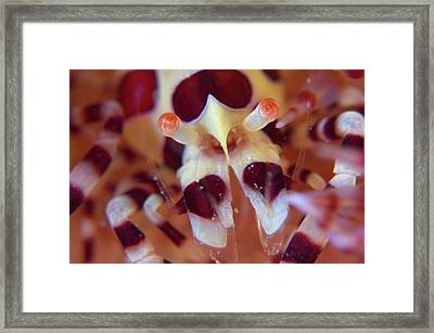 Commensal Shrimp On Sea Urchin Framed Print