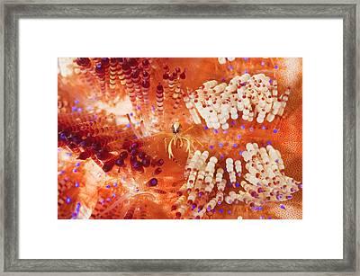 Commensal Shrimp On Urchin Framed Print
