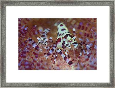 Commensal Shrimps On Sea Urchin Framed Print