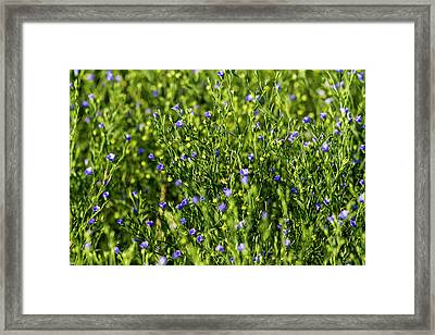 Commercial Flax Field Near Mott, North Framed Print