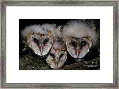 Common Barn Owl Chicks Tyto Alba Framed Print by Ron Sanford