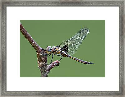 Common Basket-tail Framed Print