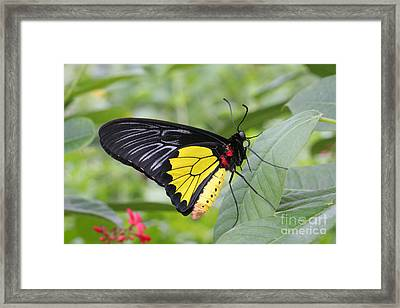 Framed Print featuring the photograph Common Birdwing Butterfly by Judy Whitton