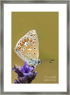 Common Blue Framed Print by Anne Gilbert