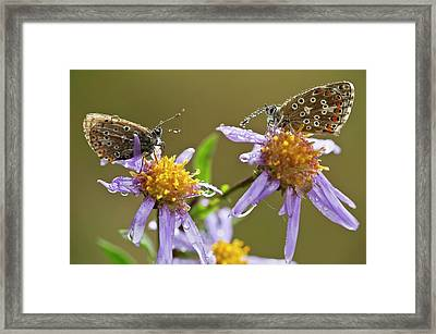 Common Blue Butterflies Covered In Dew Framed Print