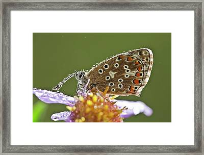 Common Blue Butterfly Covered In Dew Framed Print