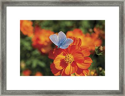 Framed Print featuring the photograph Common Blue Butterfly by Lana Enderle