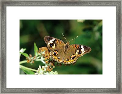 Common Buckeye Butterfly (junonia Coenia Framed Print