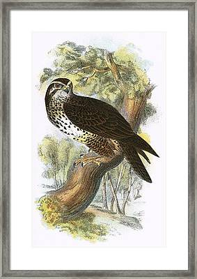 Common Buzzard Framed Print
