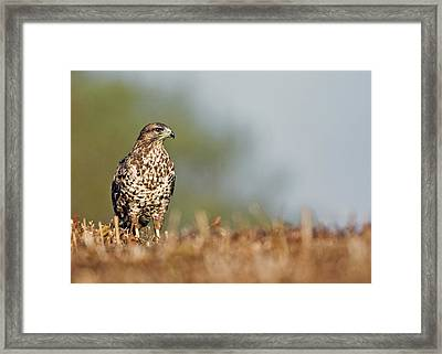 Framed Print featuring the photograph Common Buzzard by Paul Scoullar