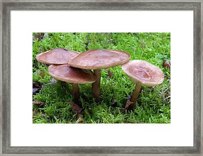 Common Cavalier Fungus Framed Print by Nigel Downer