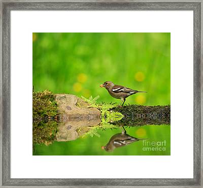 Common Chaffinch Female Foraging Beside A Reflecting Pool Framed Print